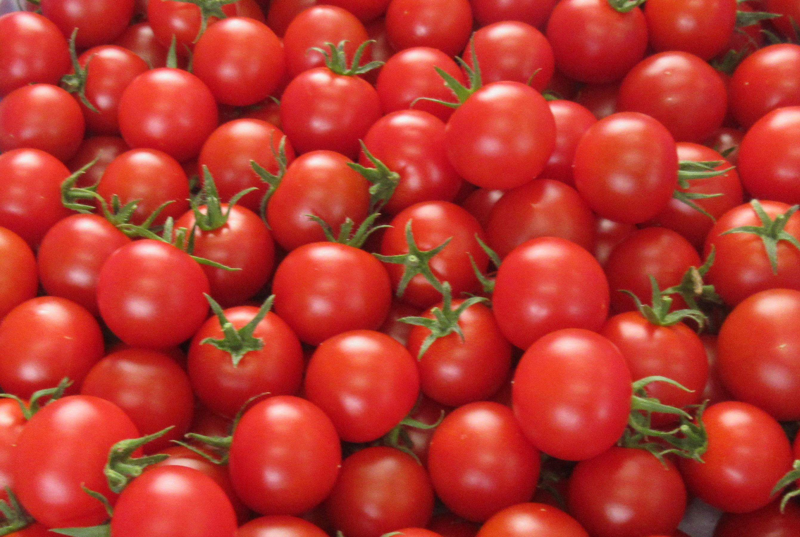 トマト狩り再開します